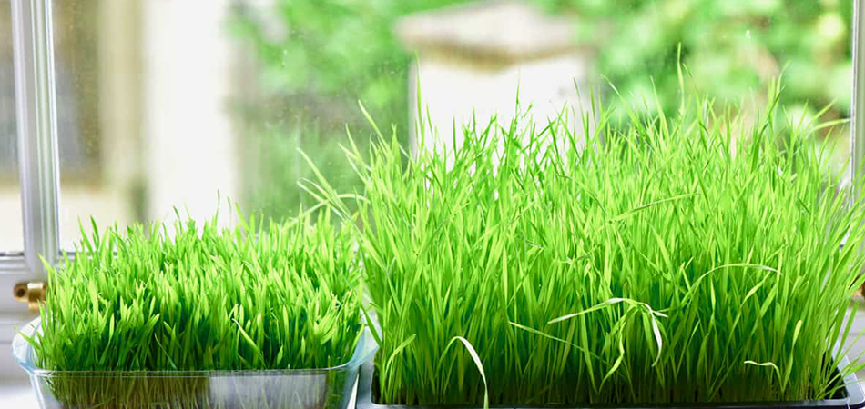 Can You Eat Wheatgrass Without Juicing It